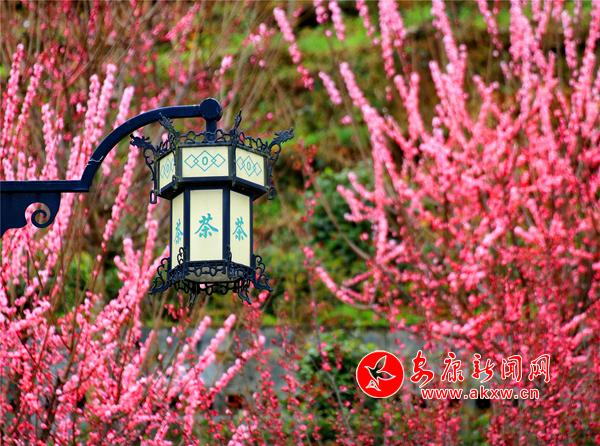 春到茶山花满园